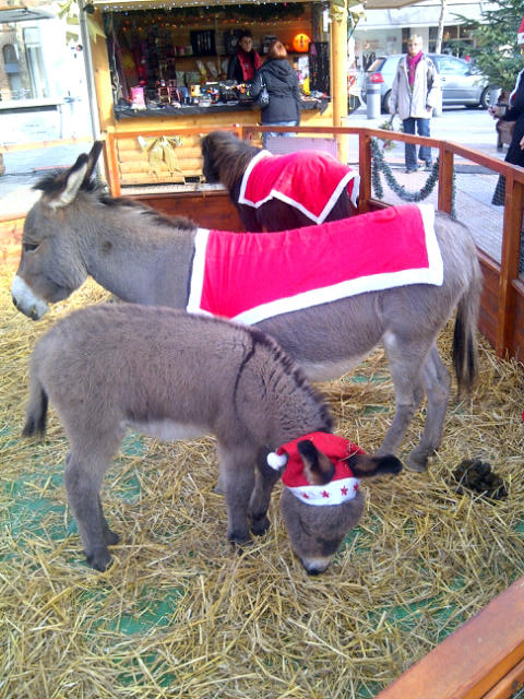 Xmas donkeys in Albi.